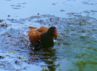 Un Jacana prend son bain.